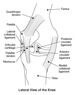 Structures of the Knee Joint