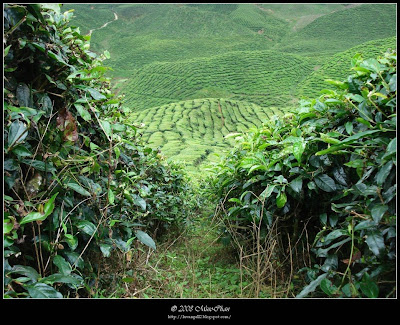 Bharat Tea Plantations Scenery