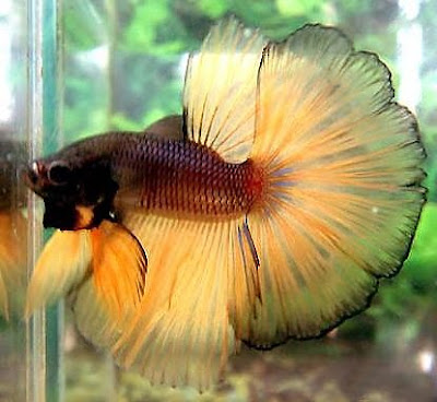 Once a fish now a dragon what it means to be a betta for How big can a betta fish get