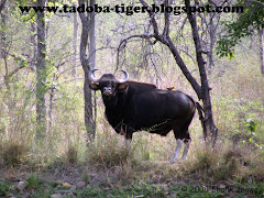 Gaur (Indian Bison)