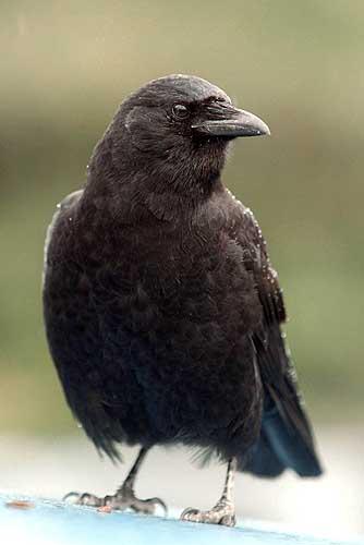 Resultado de imagen para Cuervos Comunes ( Corvus corax )