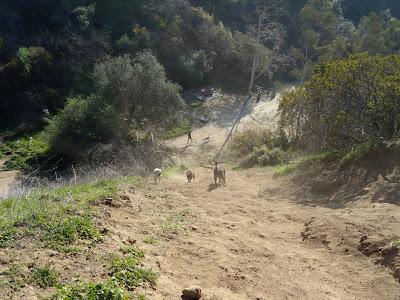 Labradors racing up and down Runyon Canyon
