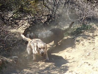 Runyon Canyon Labrador fun