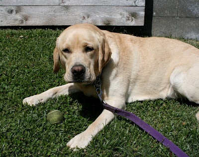 Tired 2 year old yellow Labrador Cooper