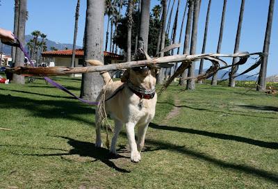 Palm frond Labrador