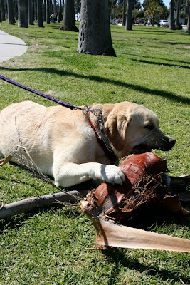 Palm frond chewing dog