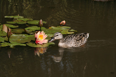 Lily pad duck
