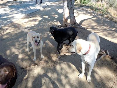 Labrador Pack