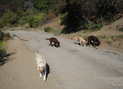Runyon Canyon Labrador Pack
