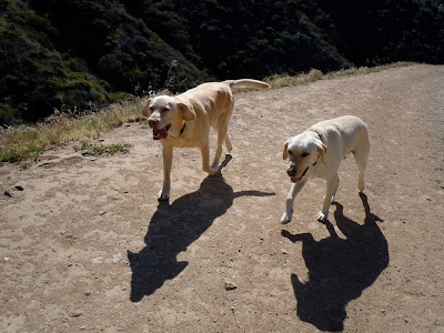 Pictures Of Yellow Labs. Happy yellow Labradors