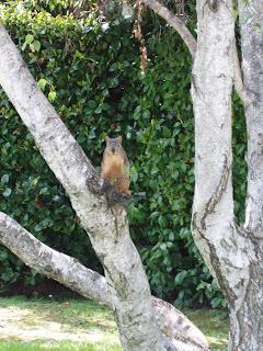 Squirrel of Studio City