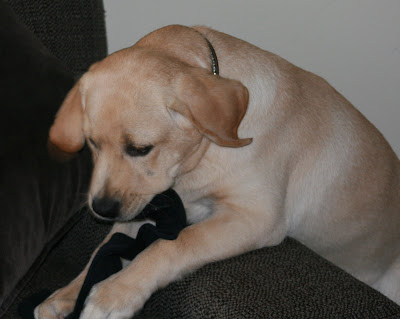 Cooper's first sock - yummy!