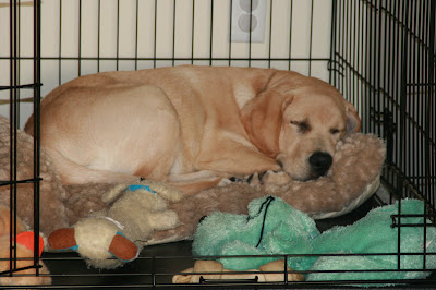 Cooper in his crate at 18 weeks