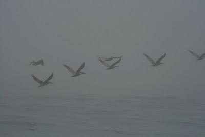 Sycamore Cove birdlife - Pelicans
