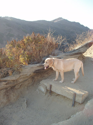 Runyon Canyon Labrador