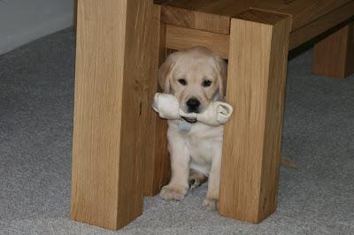 8 week old puppy