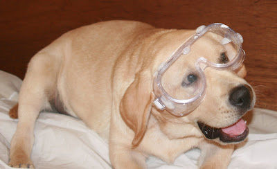 Dog with goggles at 18 weeks