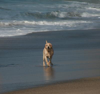 Wet beach pup