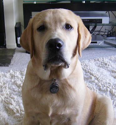 Yellow Labrador Cooper