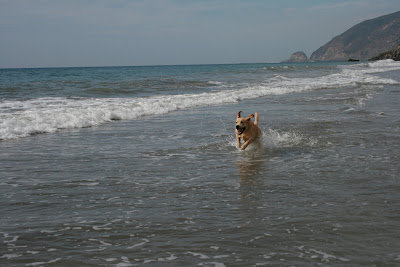 Labrador pup Cooper racing through the waves