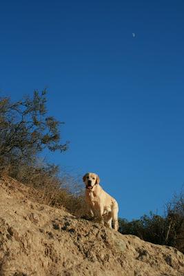 Runyon Canyon ridge pup