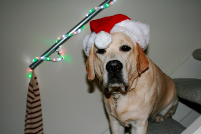 Santa Hat Labrador Cooper