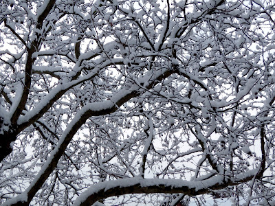 Snowy tree boughs
