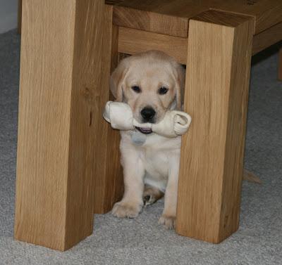 8 week old rawhide pup Cooper