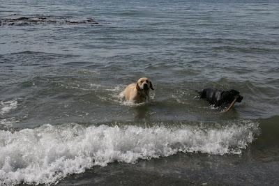 Cooper in ocean at Arroyo Burro Beach