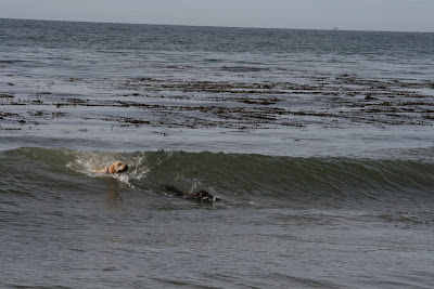 Pup chasing a dog in the ocean