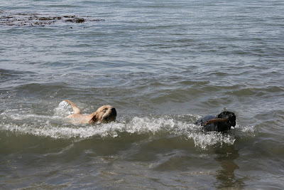 Puppy chasing sticks in the ocean