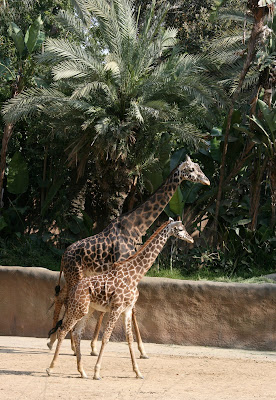 Giraffes at LA Zoo