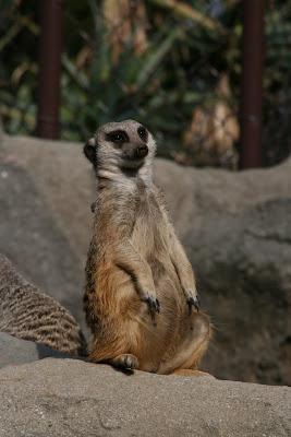 Meerkat at LA Zoo