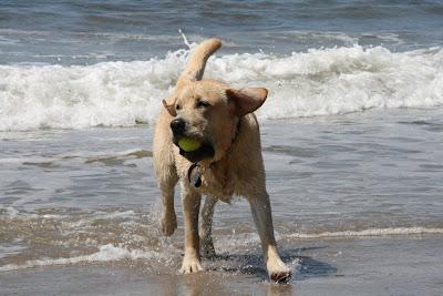 Tennis ball fun for beach pup