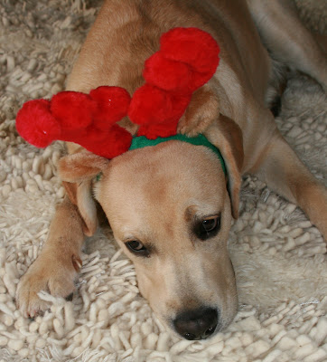 Frowning festive antler pup