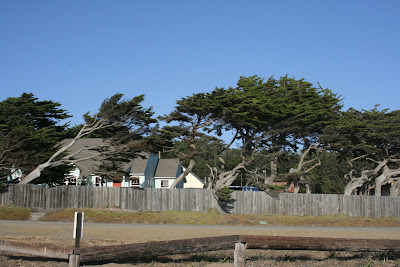 Windswept trees in Cambria