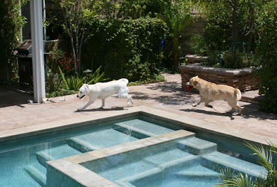 Labradors play beside pool