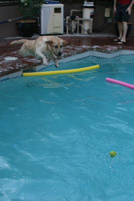 Labrador Cooper diving for his ball