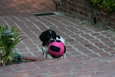 Spaniel puppy Dexter