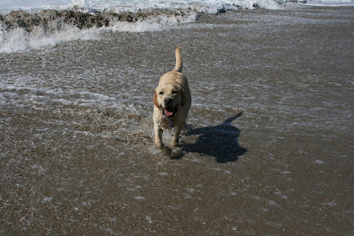 18 month beach Labrador Cooper