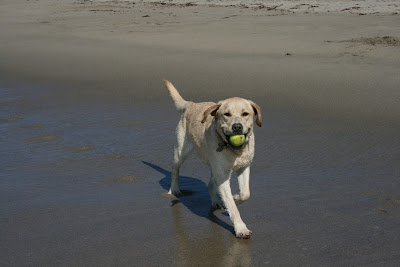 Smiling beach Labrador Cooper