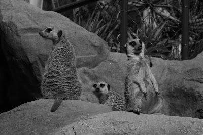 Meerkats in mono at LA Zoo