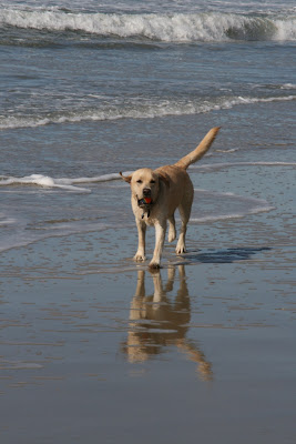 Cooper at Huntington Dog Beach