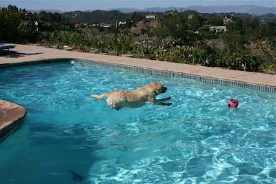 Flying Labrador Cooper