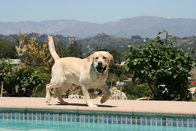 Happy poolside Labrador Cooper
