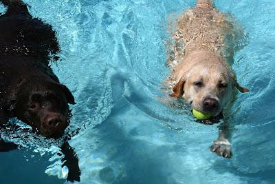 Swimming Labradors