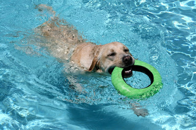 Swimming pool Labrador toys