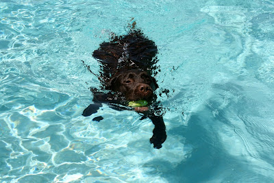 Swimming pool Labrador Woody