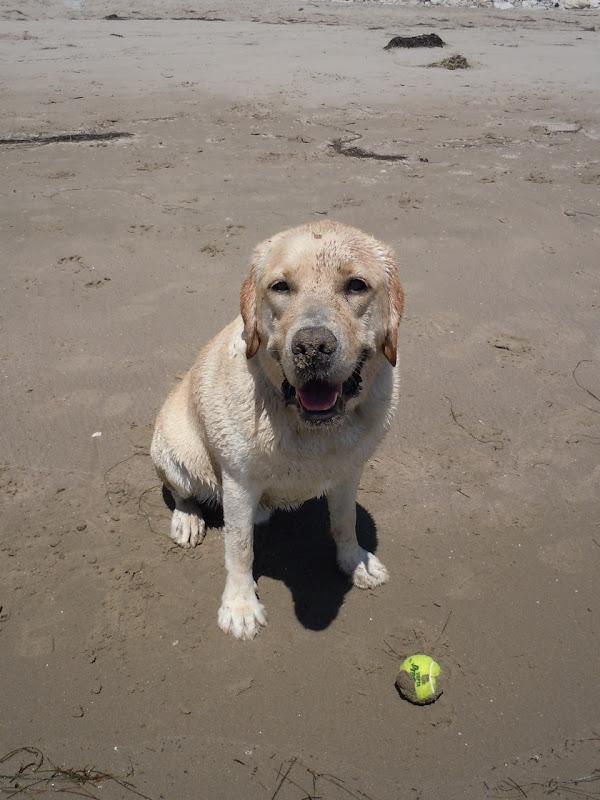 Hendry's Beach sandy nose Labrador