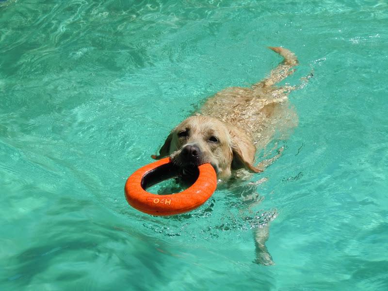 Labrador fetching pool toy